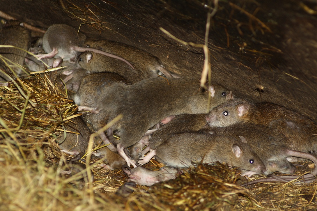 Rat Infestation? We are Experts in Rat control, removal