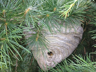 Wasp Nest Removal Wasps And Hornet Control
